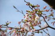 桜 五分咲